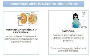 hipófisis hormonas